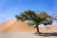 Single tree and dune Royalty Free Stock Photography