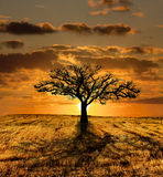 Single Tree Dying. And the sunset stock photo