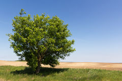 Single tree on empty field. Blue sky on background stock photos
