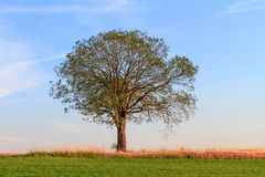 Single Tree in the Evening Royalty Free Stock Photos