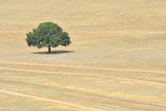 Single tree on field Stock Images