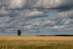 Single tree in field. Autumn. Single tree in field under cloudy sky Royalty Free Stock Photo
