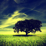 Single tree in the field Royalty Free Stock Image