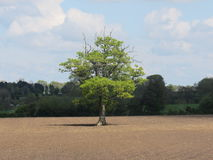Single tree. In a field in the British countryside stock image
