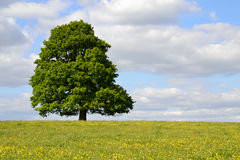 Single Tree in a Field of Buttercups. Single tree in full leaf under a cloudy blue sky standing in a field of buttercups stock photo