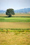 Single tree in a field of corn Stock Photo