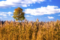 Single tree in a field... Good quality photo of a single tree in a field: golden grass (sedge, a few cereals, etc.), blue sky, fluffy white clouds, suburbs royalty free stock image