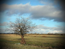 Single tree in field, Lithuania Royalty Free Stock Image