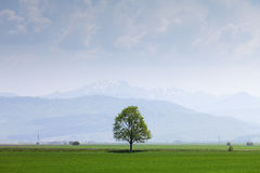 Single tree on a field with mountains Stock Image