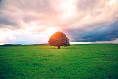 Single tree in field. Single oak tree in field under magical sunny sky stock images