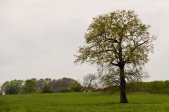 Single tree in a field on overcast spring day Royalty Free Stock Photo