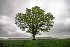 Single tree in field. A single tree in the british countryside stock photo