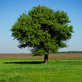 Single tree in a field Royalty Free Stock Images