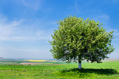 Single tree in a fields Royalty Free Stock Image