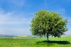 Single tree in a fields Royalty Free Stock Image