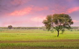 Single Tree In The Fields Of India Stock Image