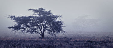 Single tree at foggy misty forest of Africa Royalty Free Stock Photo