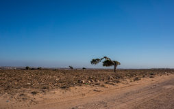 A single tree formed by the trade wind in the dessert. Moroccan dessert, blue sky and a lonely tree Stock Photography