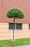 Single tree in front of modern building. Home decoration Stock Photos