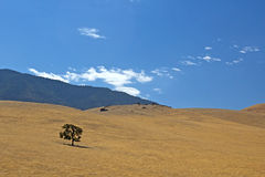 Single Tree on Golden Rolling Hillside Stock Photography