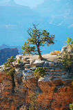 Single tree in the Grand Canyon Stock Image