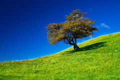 Single tree on a grassfield Stock Images
