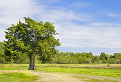Single tree in grassy field. Single tree in a large grassy field on a beautiful summer day Stock Image