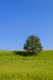 Single Tree Green Field Blue Sky Royalty Free Stock Photography