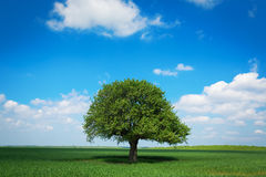 Single tree in a green field with blue sky and white clouds Royalty Free Stock Images