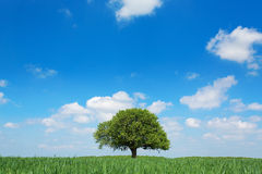 Single tree in a green field with blue sky and white clouds.  Stock Image