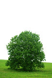 Single  tree and green grass. Royalty Free Stock Image