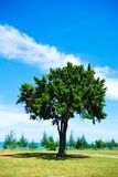 Single tree on green grass with blue sky Stock Image