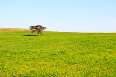Single tree in a green meadow Royalty Free Stock Photography