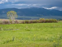 A Single Tree in a Green Pasture with Mountains in the Distance. A green pasture with thick grass and yellow wildflowers, mountain goldenbanner, in the stock photo