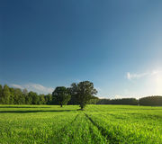 Single tree, greenfield and forest Royalty Free Stock Photography