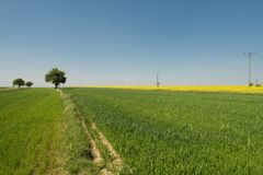 Single tree in the field. Single tree growing in a field with green small wheat royalty free stock image