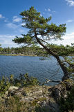 Single tree hanging over lake in sweden Royalty Free Stock Photo