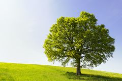 Single Tree on Hill. Single tree on a hill on a sunny day royalty free stock photos