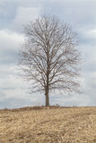 Single tree on a hill. Vertical image of a single tree on a hill with a nice sky behind, surrounded by a corn field royalty free stock images