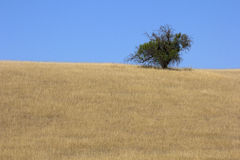 Single tree on a hill. Stock Images