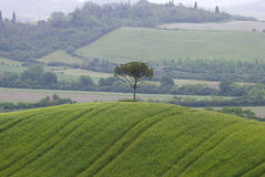 Single tree on the hill Royalty Free Stock Image