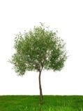 Single tree isolated. On white background Stock Image