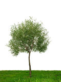 Single tree isolated Stock Image