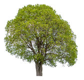 Single tree isolated Royalty Free Stock Photography