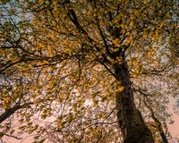 Magnificent autumn tree, its gleaming orange leaves stock photography