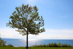 Single tree by Lake Ontario Royalty Free Stock Image