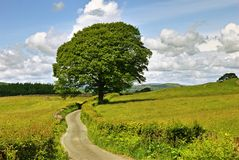 Single tree and lane. A single tree and a lane in meadows near Sawrey stock photo