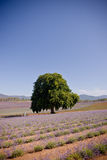 Single tree in lavender fields. Single beautiful shady green tree growing in the centre of cultivated lavender fields just coming into bloom with their purple Stock Images