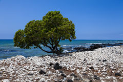 Single tree leans over ocean at Waulua bay Stock Photography