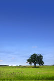 Single tree in the meadow Royalty Free Stock Photography